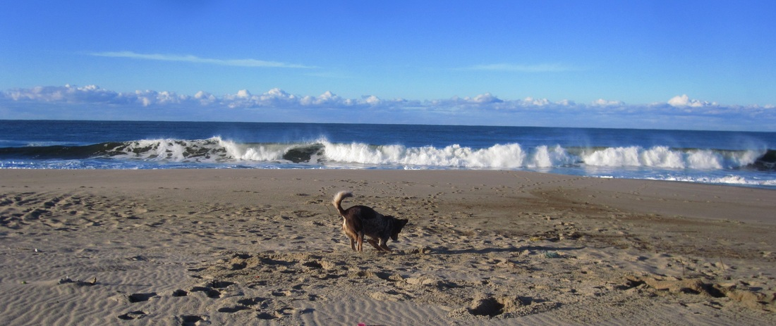 Romance Author Amy Chanel's dog Henry on the beach